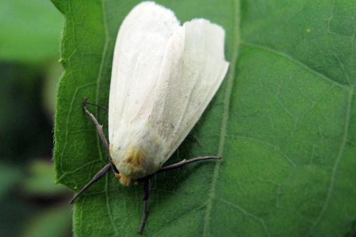 Народные средства от белокрылки на комнатных растениях