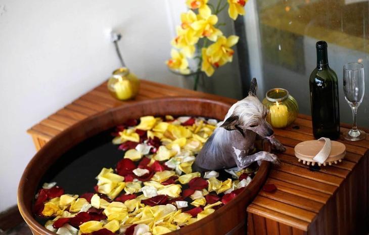 Китайская хохлатая собака принимает ванну в салоне для животных в Сан-Паулу Забавные фото, животные, мимишность
