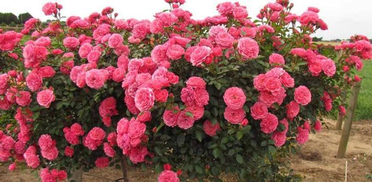 Стандарт розы Флорибунда