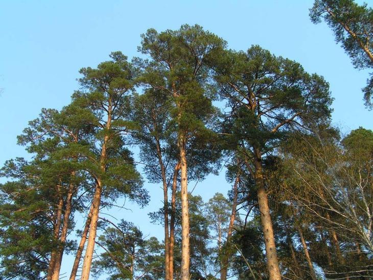 Свойства дерева СОСНА. Целебная сила дерева. Как деревья нас лечат. Фото с сайта NewPix.ru
