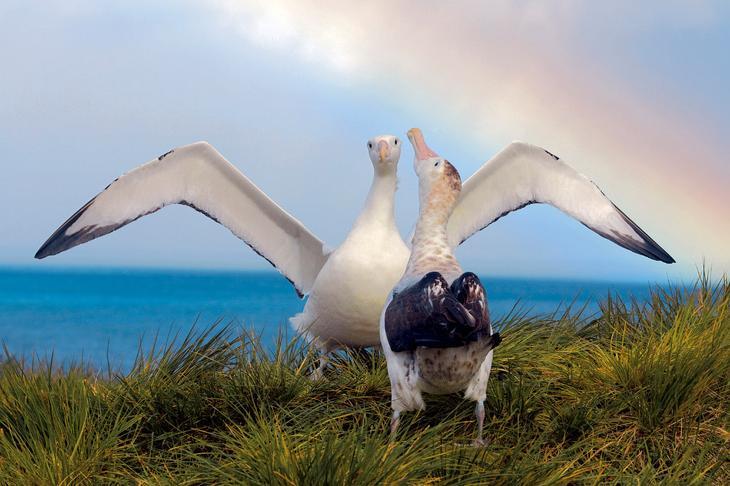 Странствующие альбатросы loverme