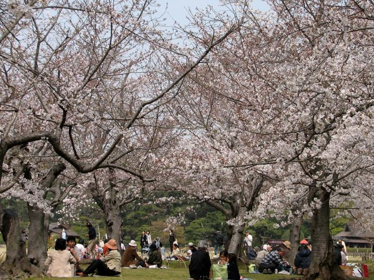 Японский парк Кераку-эн весной. Цветение сакуры. Фото