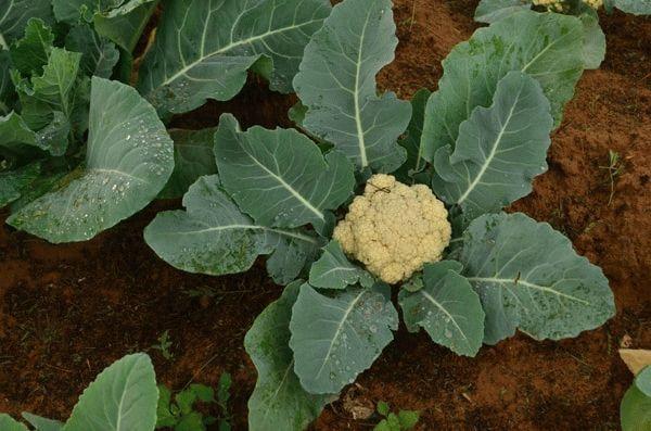 Подкормка цветной капусты в открытом грунте для формирования кочана народными средствами