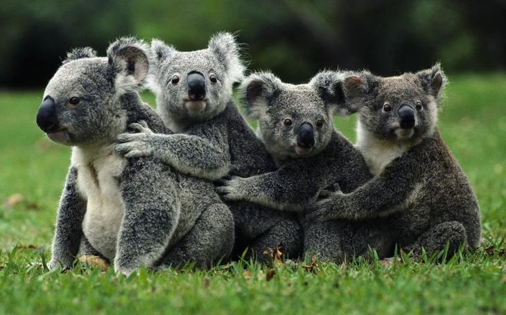 13. Коала животные, природа, факты