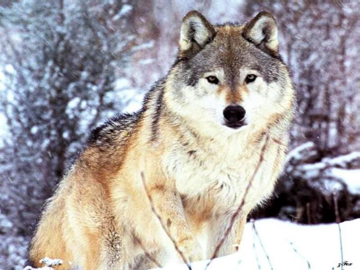 Самый большой волк в мире - Topkin