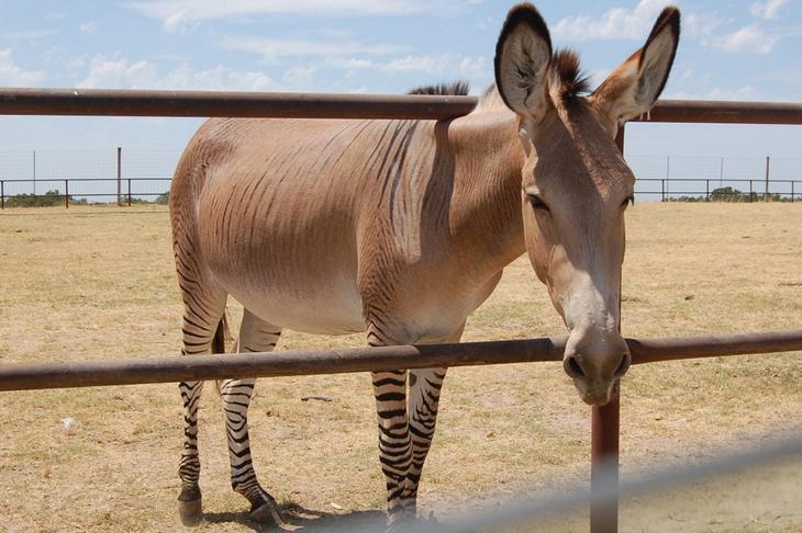 Зеброид — гибрид зебры (самца) и других видов лошадиных (самки). (Out.of.Focus)