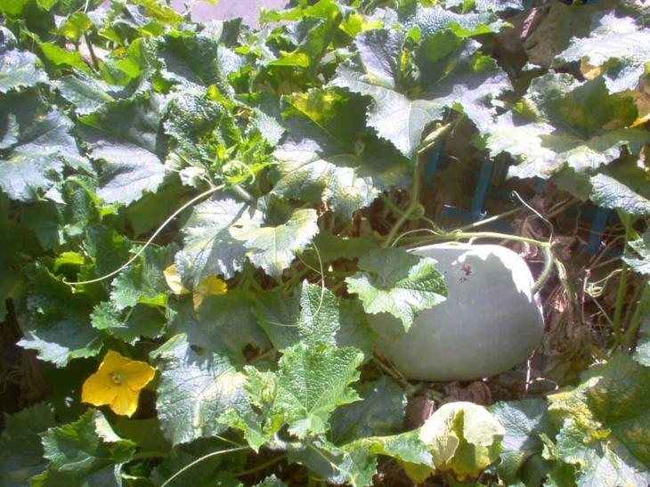 Бенинказа или восковая тыква: выращивание и уход