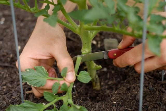 Нужно ли обрывать нижние листья у томатов?