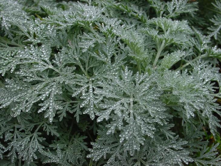 Полынь — традиционное растение степей