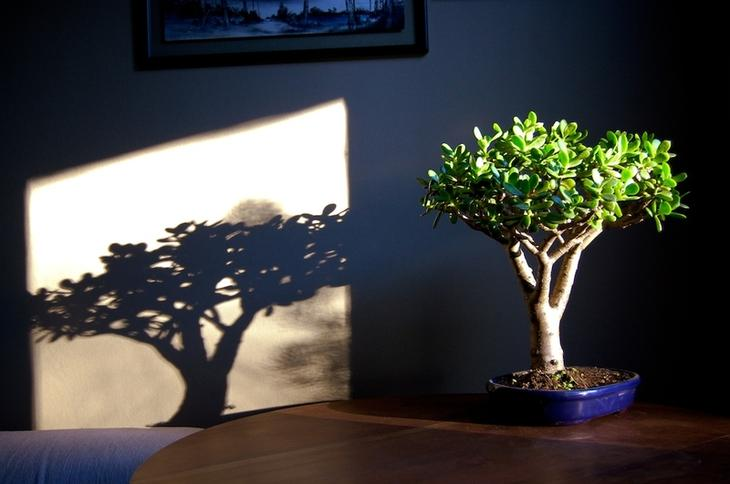 У многих видов суккулентного денежного дерева корневая система распространяется поверхностно горизонтально
