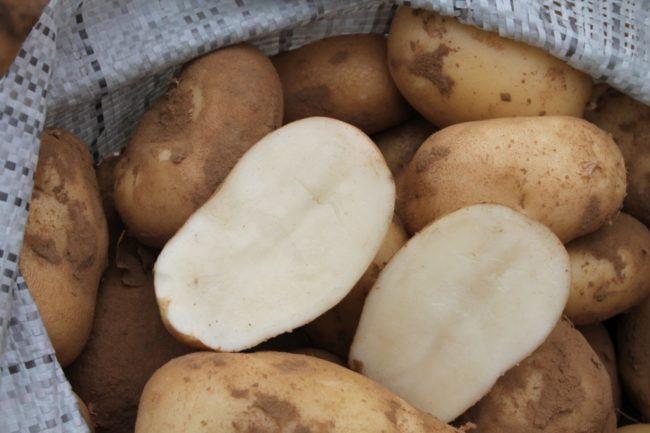 Сорт картофеля Удача: описание с фото и основные характеристики