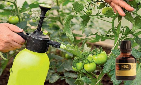 Опрыскивание помидоров молоком с йодом