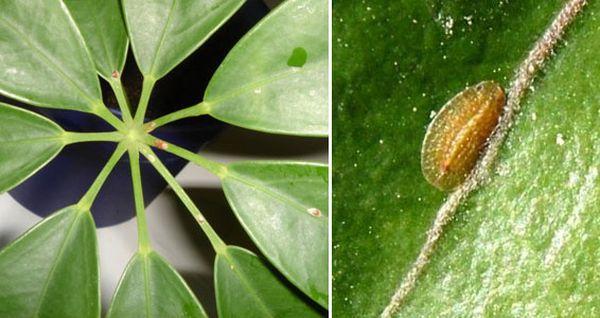 Как эффективно бороться со щитовкой на комнатных растениях