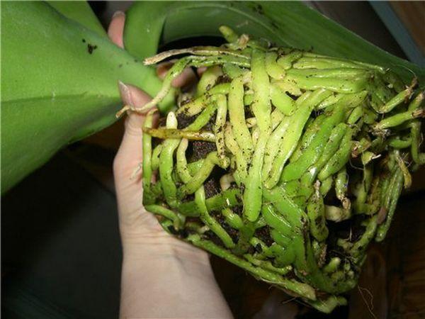 У орхидеи сохнут воздушные корни спасаем растение