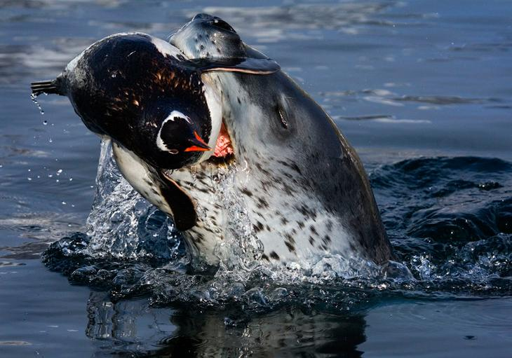 Морской леопард поймал пингвина loverme