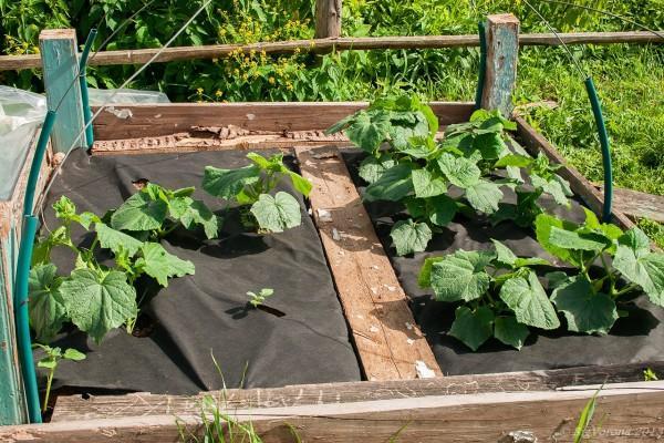 Самостоятельное создание парника для огурцов: простая конструкция, гарантированный урожай