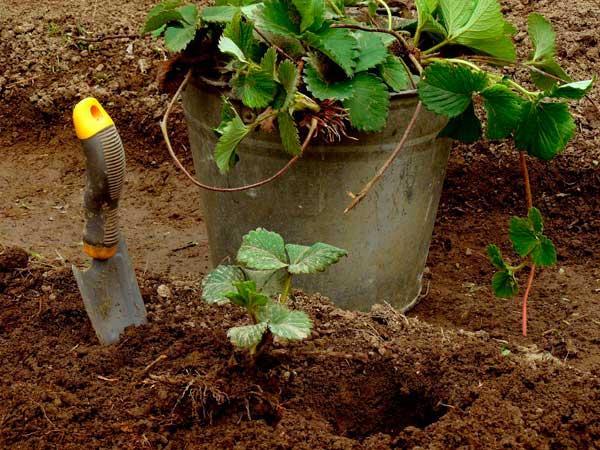 Удобрение для клубники осенью: улучшение урожая, подкормка в зиму