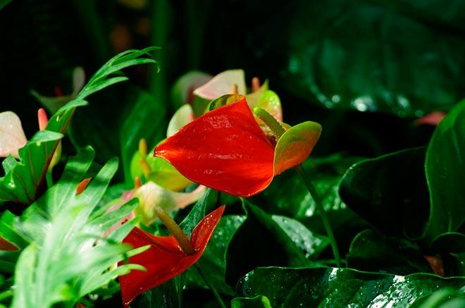 Удивительный цветок антуриум — уход в домашних условиях