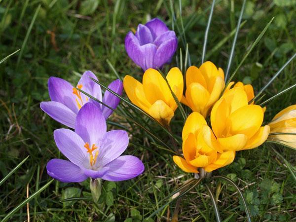 Посадка и уход за крокусами 37 фото как сажать осенью Как вырастить шафран в открытом грунте Как посадить цветок дома Когда высаживать луковицы на даче