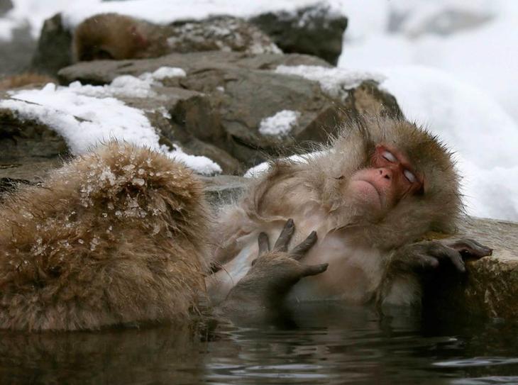 Японский макак наслаждается в теплом горном источнике (19 января) Забавные фото, животные, мимишность