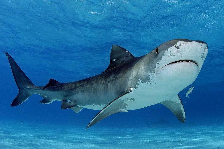 Тигровая акула . 10 самых больших рыб в мире. Фото с сайта NewPix.ru