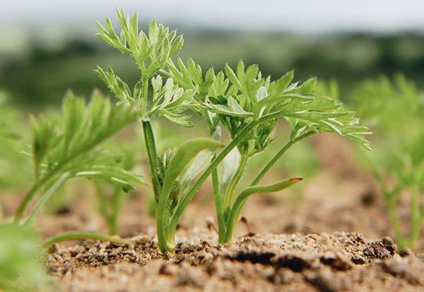 Как ускорить всхожесть семян чтобы вырастить раннюю морковь видео