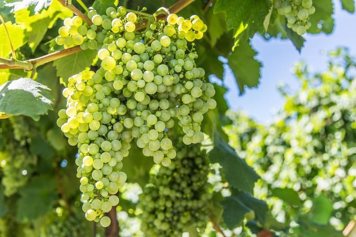 Нужно ли обрезать виноград при посадке