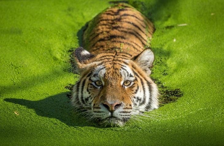 Тигры – дикий животный магнетизм в 30 потрясающих фотографиях 6