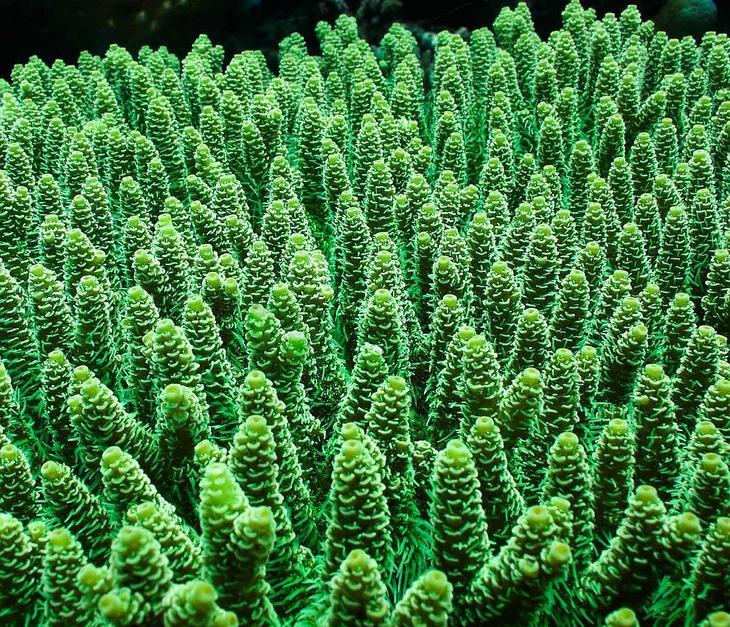 Зеленый коралл acropora tenuis: