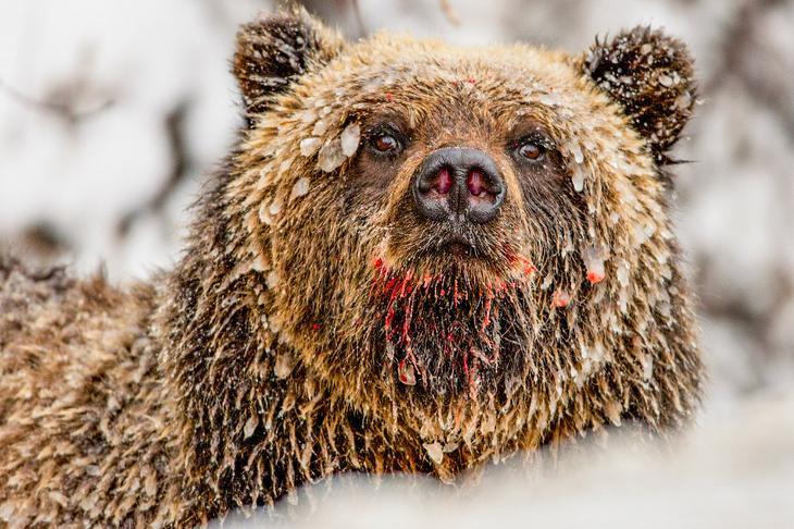 Медведь в сосульках loverme
