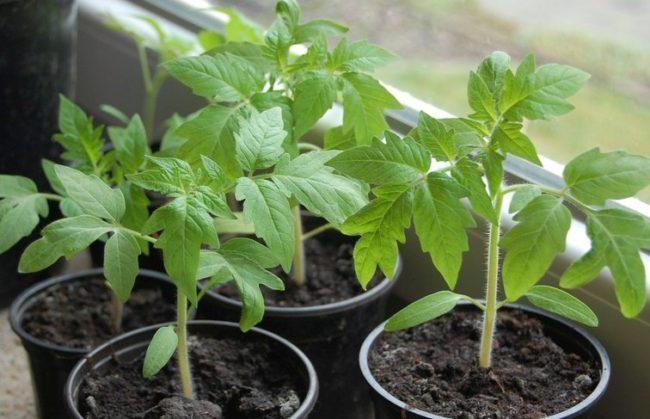 Чем полить рассаду помидор чтобы росли крепкими