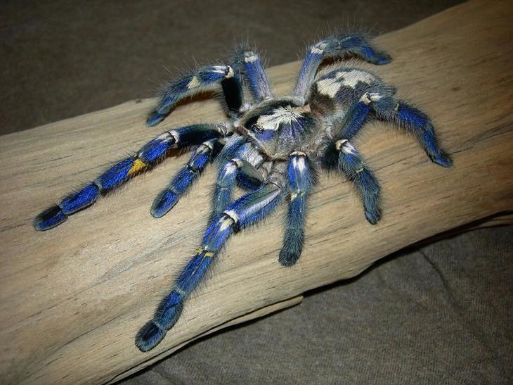Синий паук - самый красивый паук в мире
