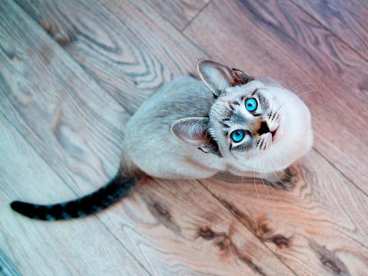 красивая кошка с голубыми глазами