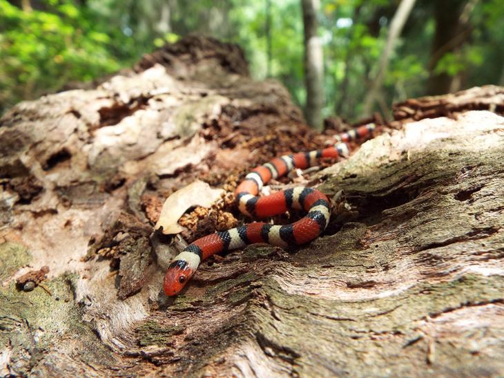 Молочная змея. Рептилия является неядовитой и не представляет особой опасности для жизни человека. Однако, внешность молочной змеи весьма схожа с коралловой змеёй, укус которой смертелен. (Bree McGhee)