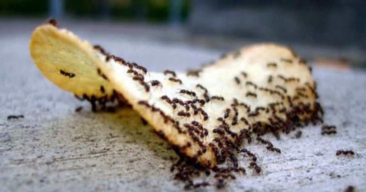Домашние муравьи: как избавиться народными средствами