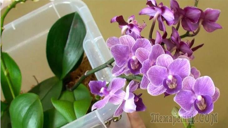 Способ полива орхидей