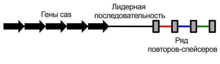 Упрощённая схема строения CRISPR / ©wikipedia