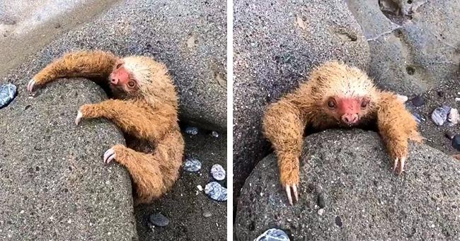 Мужчина спас маленького ленивца, который застрял на пляже и громко плакал