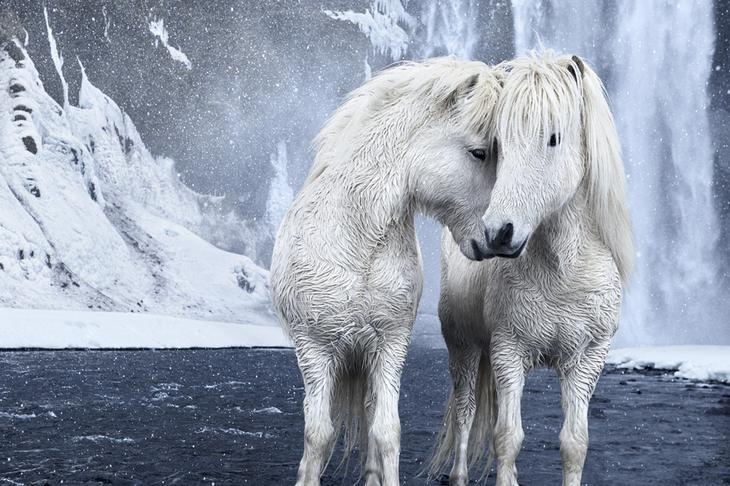 loshadi-Islandii-fotograf-Dryu-Doggett 20