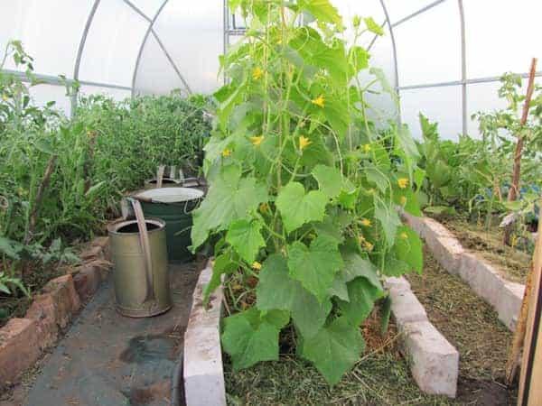 Ускорение роста огурцов — чем удобрить растение для активного роста