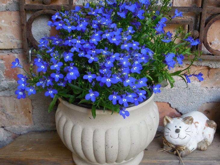 Лобелия – посадка и уход в открытом грунте. Выращивание цветка лобелии из семян. Описание, виды. Фото
