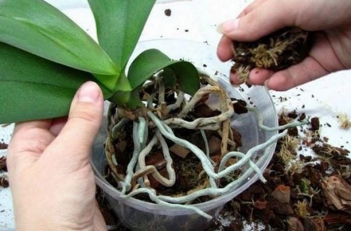 Почему не цветёт орхидея: причины и способы решения проблемы