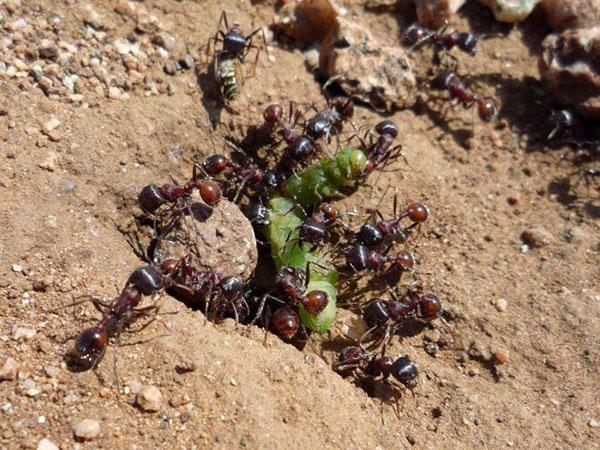 Как уничтожить муравьев в теплице