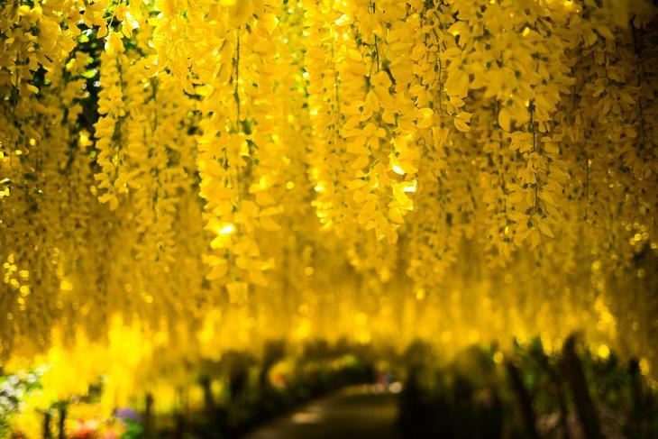 Бобовник. Растение содержит цитизин. Опасен для жизни при попадании в организм в больших дозах. Отравление сопровождается рвотой, конвульсиями и нередко — смертью. (Jaypeg)