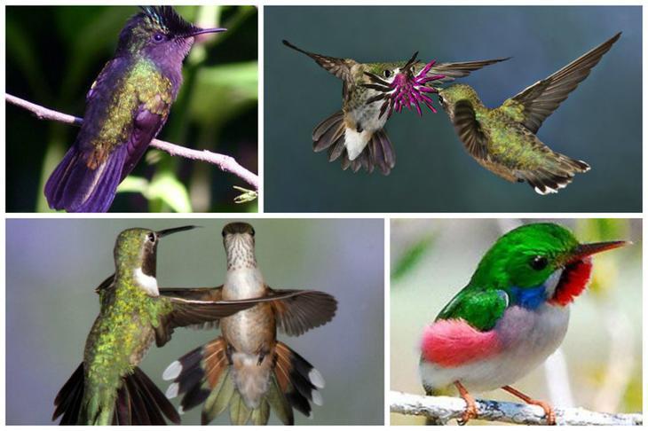 Самые крупные колибри вырастают аж на 20 см и весят до 21 грамма интересное, колибри, природа, птицы, факты, фауна