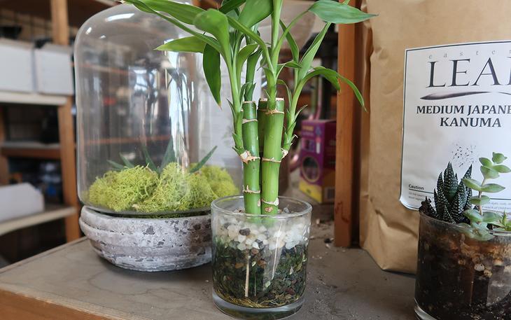 Размножение бамбука черенками