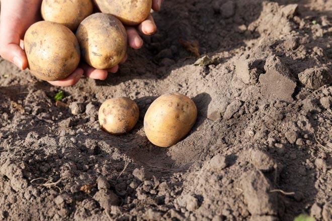 Картофель каратоп описание сорта фото