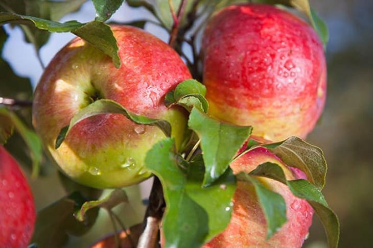 Обрезка яблони весной для начинающих в картинках: пошагово