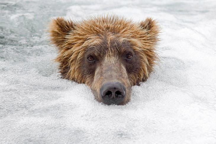 Медвежий фотограф Сергей Горшков