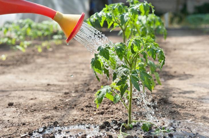 Как часто поливать помидоры в открытом грунте — как правильно и сколько раз